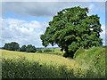 TL9427 : Hedgerow oak south of Hillhouse Wood by Robin Webster