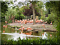 SJ4170 : The Flamingo Pool at Chester Zoo by David Dixon