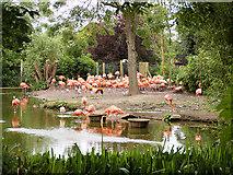 SJ4170 : The Flamingo Pool at Chester Zoo by David Dixon