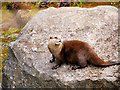 SJ4170 : Asian Short-Clawed Otter at Chester Zoo by David Dixon
