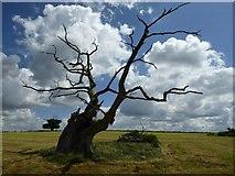 SO8732 : Dead oak tree by Philip Halling