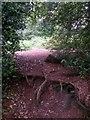 SZ0793 : Talbot Village: tree roots cross footpath N41 by Chris Downer