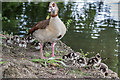 TQ3094 : Egyptian Geese, Grovelands Park Lake, London N14 by Christine Matthews