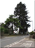 SO6303 : Dominant conifers, Hill Street, Lydney by Jaggery