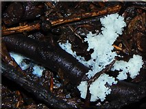 NS3977 : Slime mould plasmodium beginning to knot by Lairich Rig