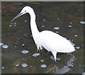 SK5705 : Little Egret in the River Soar by Mat Fascione