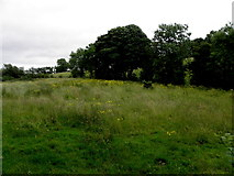 H5375 : Field with buttercups, Drumnakilly by Kenneth  Allen