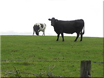 H5375 : Cows on a hill, Oxtown by Kenneth  Allen