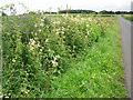 NY4150 : Roadside hedge and ditch with wildflowers by Rose and Trev Clough