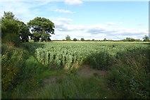 SE6350 : Bean fields by DS Pugh
