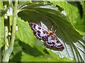 ST3086 : Small Magpie Moth by Robin Drayton