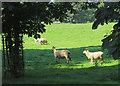 SE9955 : Sheep at Eastburn by Paul Harrop