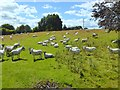NU0612 : Many sheep in a field near Whittingham by Oliver Dixon