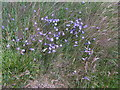 NO5566 : Harebells in July, by The Caterthuns carpark by Stanley Howe