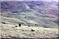 NA0900 : Great Skuas on Conachair by Alan Reid
