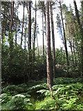 J3629 : Fern undergrowth in Donard Wood by Eric Jones