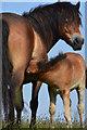 SS7549 : North Devon : Exmoor Pony by Lewis Clarke