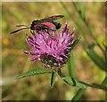 SX9066 : Burnet moth on Knapweed, Nightingale Park by Derek Harper