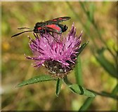 SX9066 : Burnet moth on Knapweed, Nightingale Park by Derek Harper
