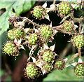 J3067 : Blackberries, Lagan towpath, Drumbeg (August 2016) by Albert Bridge
