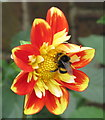 TQ2081 : Buff-tailed bumblebee on dahlia by David Hawgood