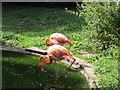 SE4536 : Lotherton bird garden: flamingos by Stephen Craven