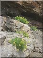 SD4376 : Rock samphire by Karl and Ali