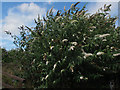 SE2336 : White buddleia at Rodley nature reserve by Stephen Craven