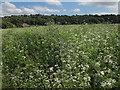 SE2336 : Fodder radish at Rodley nature reserve by Stephen Craven