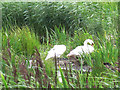 SE2336 : Swans at Rodley nature reserve by Stephen Craven