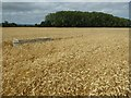 SO8740 : Wheat field at Smithmoor by Philip Halling