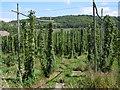 TQ5263 : Hops in the Darent Valley by Marathon