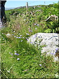 SH7357 : Harebells above Capel Curig by Richard Law