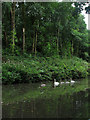 SK3056 : Swans and cygnets on the Cromford Canal by John Sutton