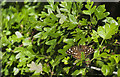 SD2805 : A Speckled Wood butterfly (Pararge aegeria) by Ian Greig