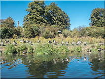TL3414 : Canada Geese on Banks of the River Lea, Ware, Hertfordshire by Christine Matthews