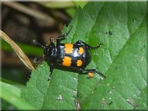 NS3977 : A sexton beetle by Lairich Rig