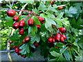 H4570 : Hawthorn berries, Beagh by Kenneth  Allen