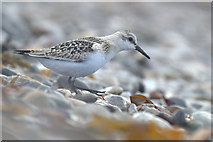 HP5605 : Sanderling (Calidris alba), Westing beach by Mike Pennington
