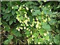 SO8544 : Hops in a hedgerow by Philip Halling