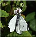 J1781 : White butterfly, Killead (September 2016) by Albert Bridge