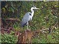 ST3089 : Grey Heron, Woodstock Pool, Newport by Robin Drayton