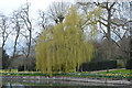 TL4459 : Weeping willow by the River Cam by N Chadwick