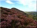 NT5532 : Heather, Eildon Hill North by Mick Garratt