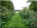 NT8238 : Avenue of Himalayan Balsam down to River Tweed by Russel Wills