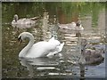 SK2424 : A family of swans on the Trent & Mersey Canal by Graham Hogg