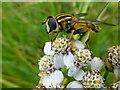 H4189 : Hoverfly on Sneezewort, Gallan Upper (2) by Kenneth  Allen