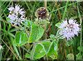 NM8127 : Water Mint (Mentha aquatica) by Anne Burgess