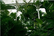 TQ1876 : Looking up at the palms in the Palm House by Robert Lamb