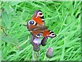 NY8849 : Peacock butterfly at Halleywell by Mike Quinn